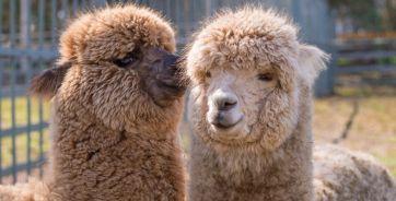 Альпачино (справа) в предвкушении поцелуя своей подруги Альмы