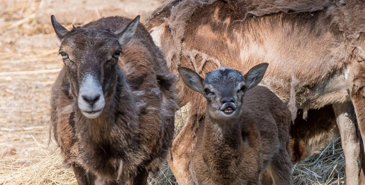 Это маленькие муфлоны, у которых еще не успели вырасти рога. Они появляются только к 3-4 годам.⠀